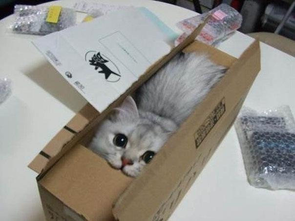 Элитная кошка стала предпосылкой судебного спора между жителями Перми иХабаровска