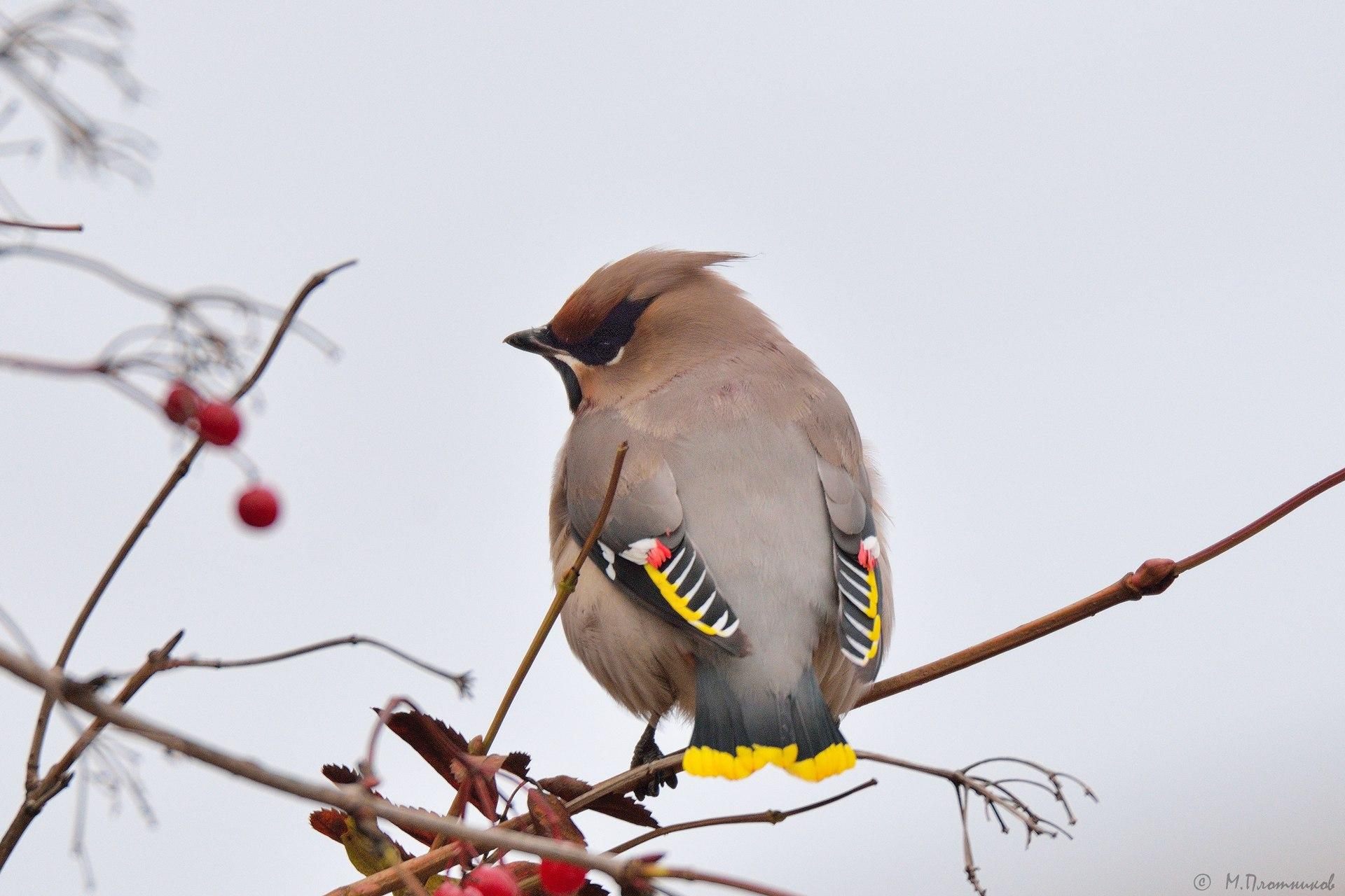 последний птицы перми название и фото него стали появляться