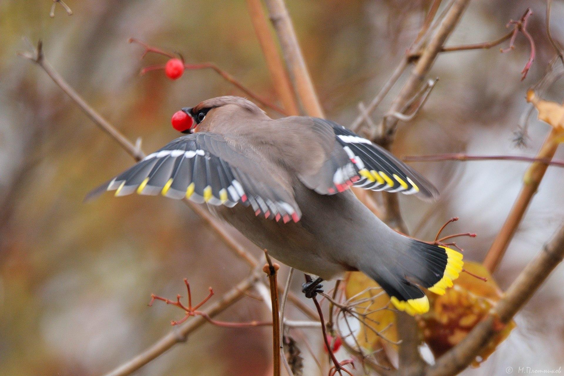 сама птицы перми название и фото бесплатно